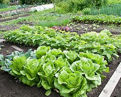 Mischkultur Gemüsegarten