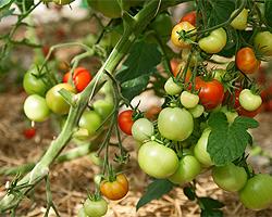 Tomatenpflanzen ausgeizen
