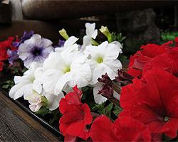 Sommerbepflanzung für den Balkon