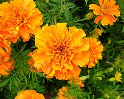 Gartentipps zu Studentenblumen