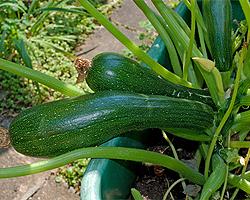 Zucchini im Kübel