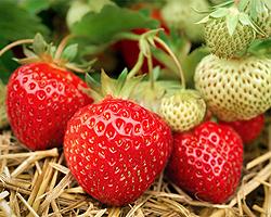 Erdbeeren anbauen