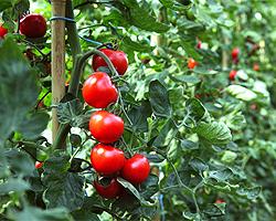 Tomaten im Freiland anbauen