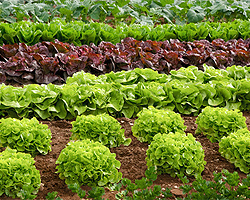 Salat Im Garten Anbauen | Eigene Salate Ernten Frische Salate Eigenen Garten Ernten
