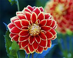 Gartentipps im Oktober für Dahlien
