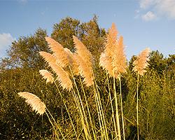 Gartentipps im November für Pampasgras