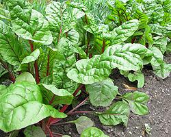 Gartentipps im November für Stielmangold