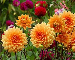 Gartentipps im April für Dahlien vortreiben