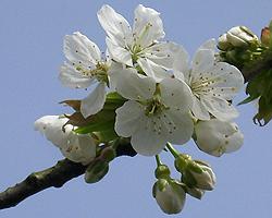 Süßkirsche Blüte
