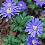 Blaue Anemonen