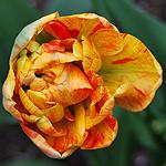 Tulpe orange gelb