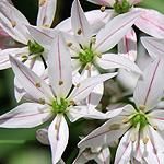 Allium Cameleon