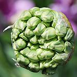 Allium geschlossen