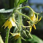 Tomatenblüten