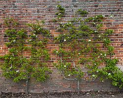 Gartentipps im August für Spalierobst