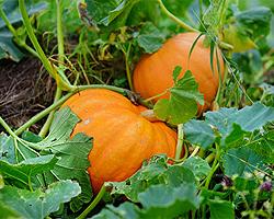 Gartentipps im September für Kürbisse und Zucchini