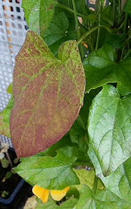 Rote Blätter an Schwarzäugiger Susanne