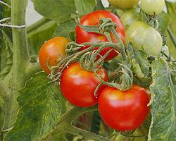 Grünkragen an Tomaten