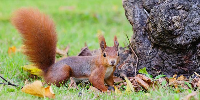 Eichhörchen