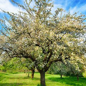 Obstbäume im Frühling