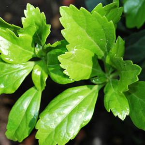giftige pflanzen im garten giftpflanzen im garten. Black Bedroom Furniture Sets. Home Design Ideas