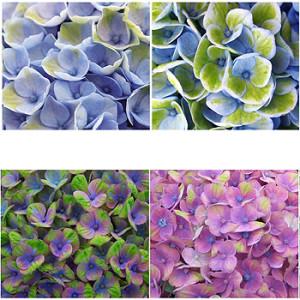 Hortensie Magical Four Seasons