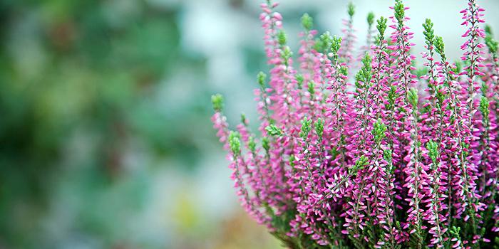 Heide als Winterbepflanzung