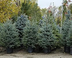 Weihnachtsbaum Im Topf Geschmückt.Weihnachtsbaum Im Topf Einpflanzen