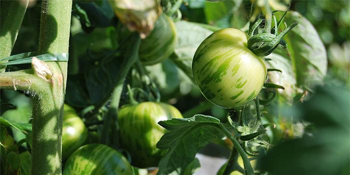 Tomaten im Kübel