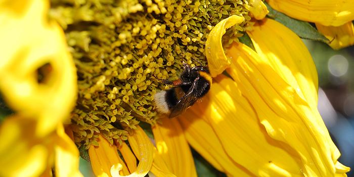 sonnenblumen pflege standort aussaat bl tezeit d ngen s en pflanzen. Black Bedroom Furniture Sets. Home Design Ideas