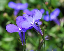 Balkonpflanzen mit blauen Blüten