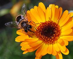 Wildbiene auf Ringelblume