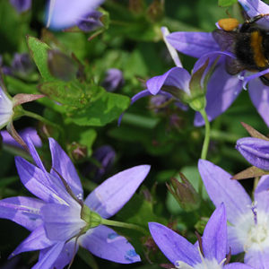 Balkonpflanzen mit lila Blüten