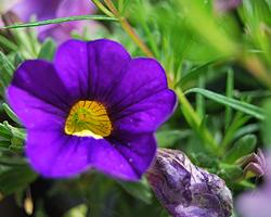 Balkonpflanzen mit lila Blüten Zauberglöckchen