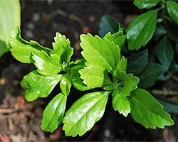 Immergrüne Bodendecker