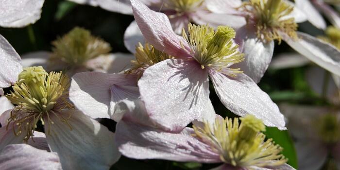 Clematisblüten in der Sonne