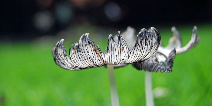 Pilze im Rasen