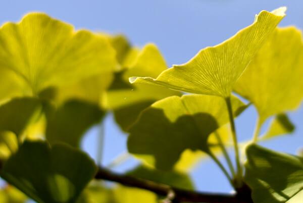 Blätter eines Ginkgos