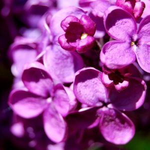 lila Flieder Blüten