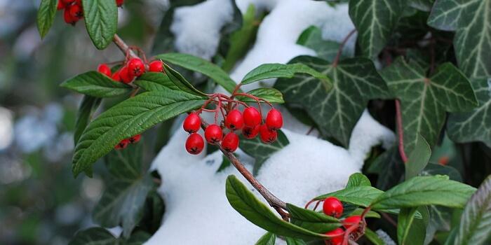 Zwergmispel Winterbepflanzung