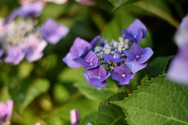 Blauviolette Hortensie