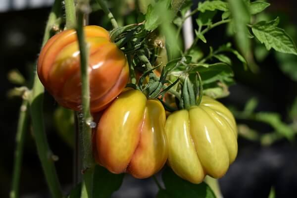 Tomatensorten - Bührer Keel
