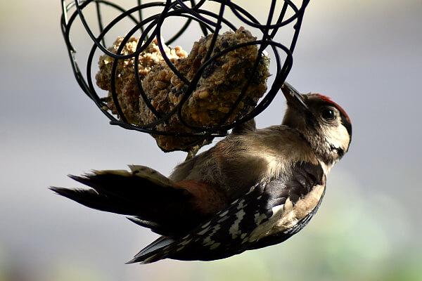 Vögel füttern - Buntspecht