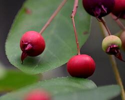Unreife Früchte einer Felsenbirne
