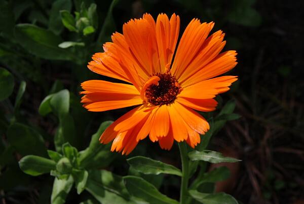 Beipflanzung Ringelblume