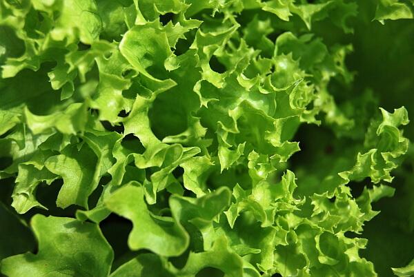 Beipflanzung Salat