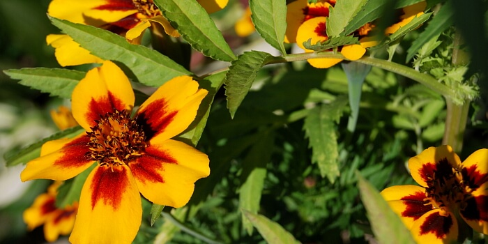 Beipflanzung Tagetes