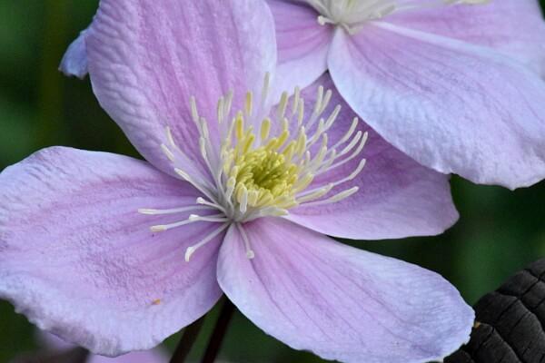 Blüte einer Clematis