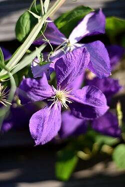 Lila Blüten einer Clematis