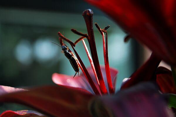 Lilie mit Ohrenkneifer